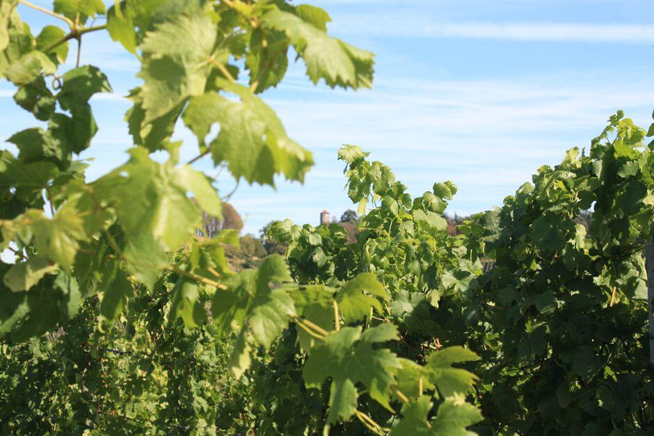 Hiking in the vineyards of Castell in the Franconian wine country