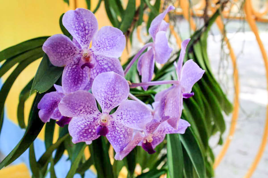The orchids of Bonnet House come from Evelyn Bartletts breeding © Copyright Monika Fuchs, TravelWorldOnline
