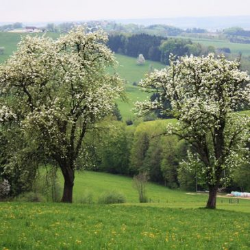 Pear trees in the Mostviertel