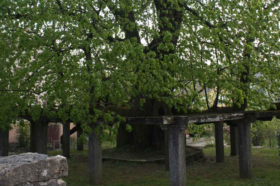 The almost 1000 year old linden tree in Hollenbach - hiking in the Jagsttal