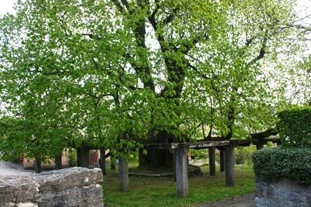 Die fast 1000 Jahre alte Linde in Hollenbach