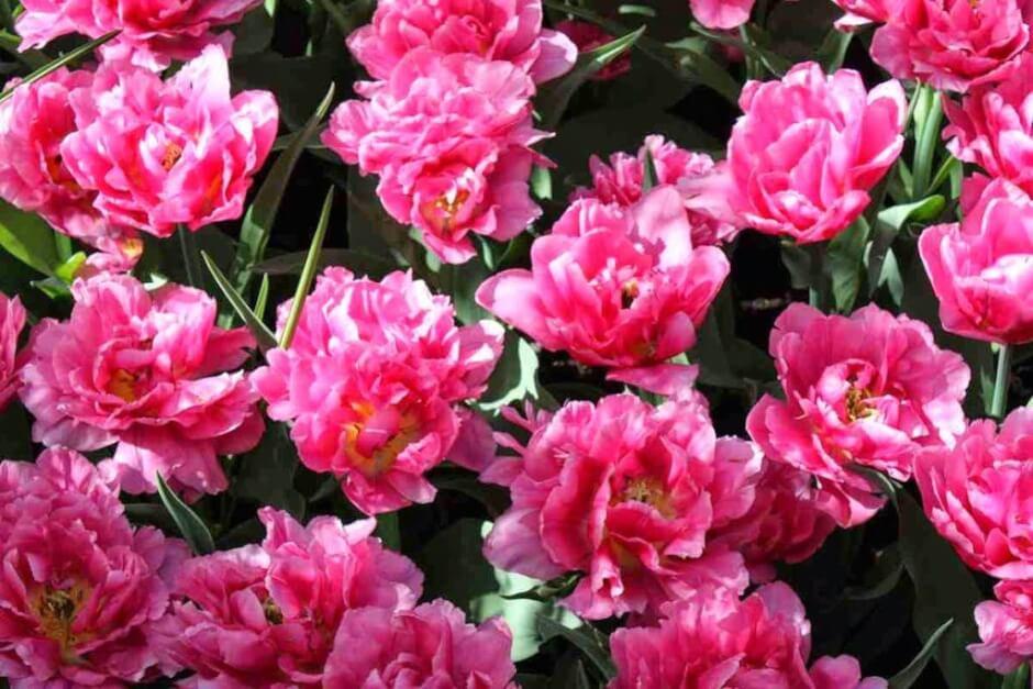 Sind das noch Tulpen? Schön sind sie auf jeden Fall!