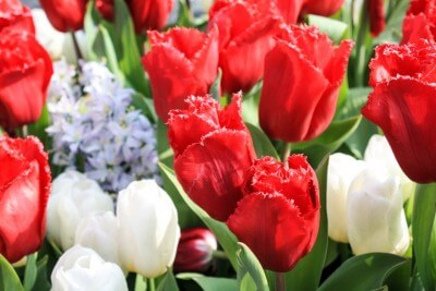 Tulips with fringe edges in Keukenhof Holland
