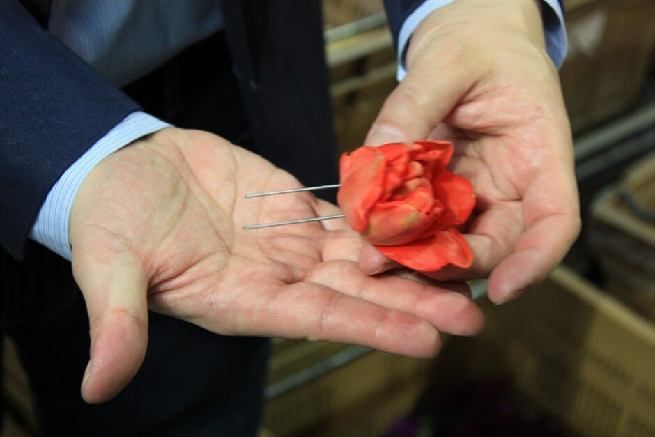 Tulips are provided with needles and pinned in a foam mold