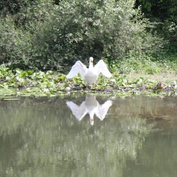 A swan spreads its wings on the Saone