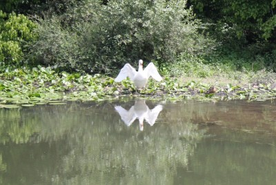 Enjoy nature when a swan spreads its wings on the Saone