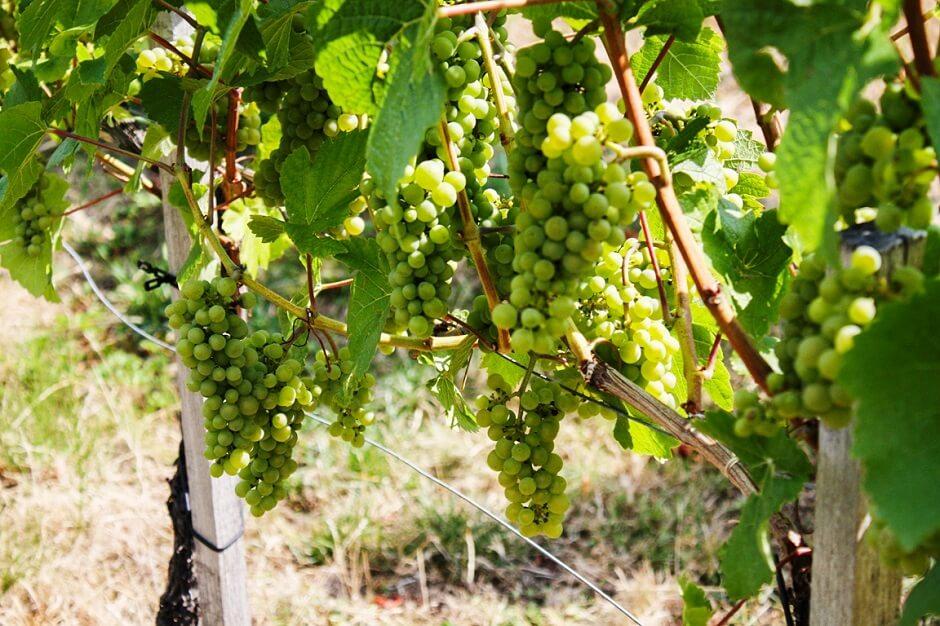 Die Wiener Weinberge - In Wien wird Wein angebaut