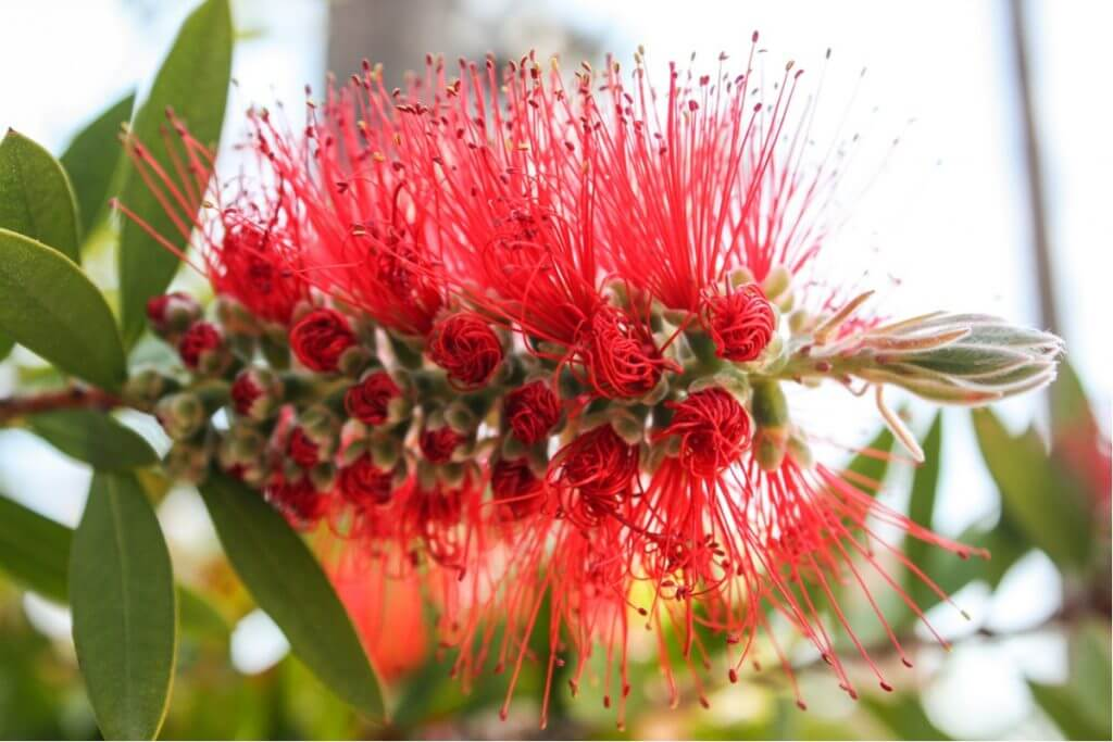 The blossom of a bottlebrush tree in Lloret de Mar