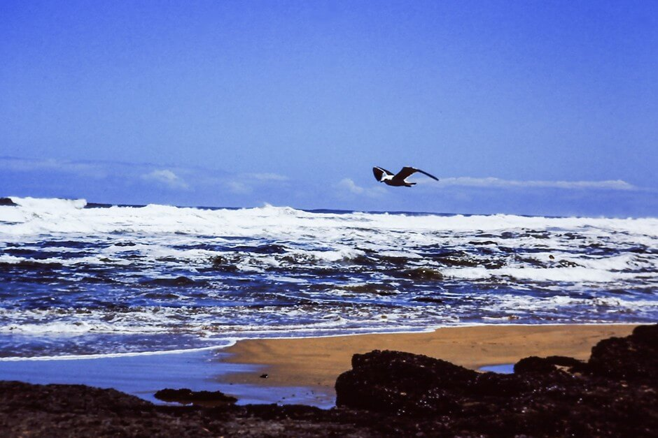 Seagull over the waves
