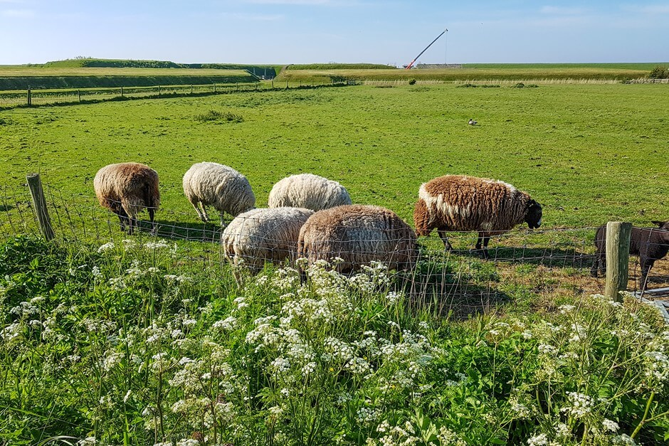 Texel island of sheep