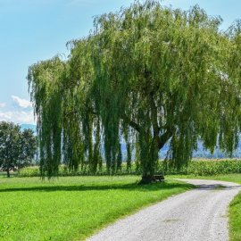 Weeping willow at Waginger See