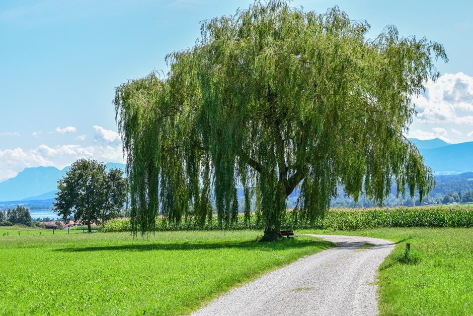 Weeping willow close to Waginger See - where to go hiking in Germany