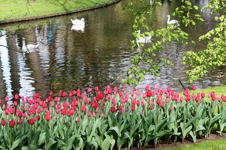 Even swans feel comfortable in the tulip park