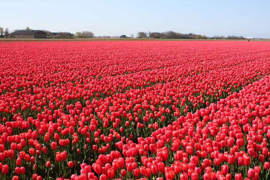 Rote Tulpen in Holland