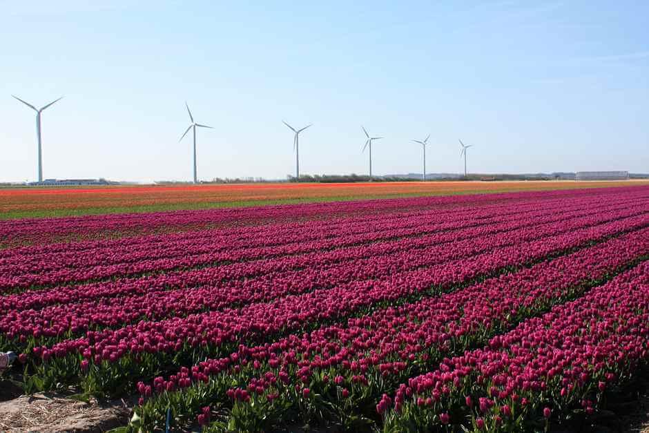 Tulpen bis zum Horizont