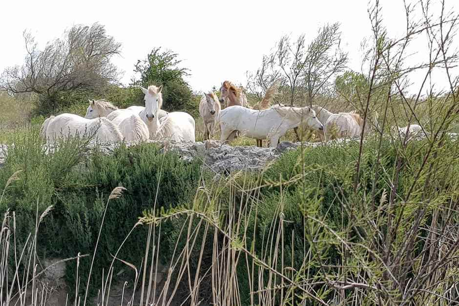 White horses of Provence in the Camargue France