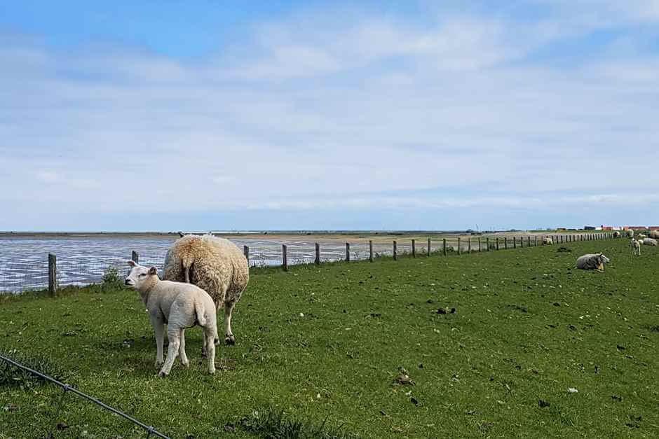Schafe grasen auf dem Deich - das ist Holland Urlaub am Meer