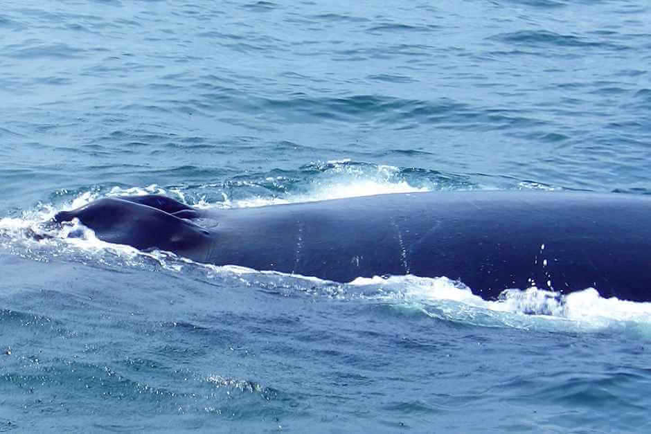 Whale species emerge in the New England waters to take a breath