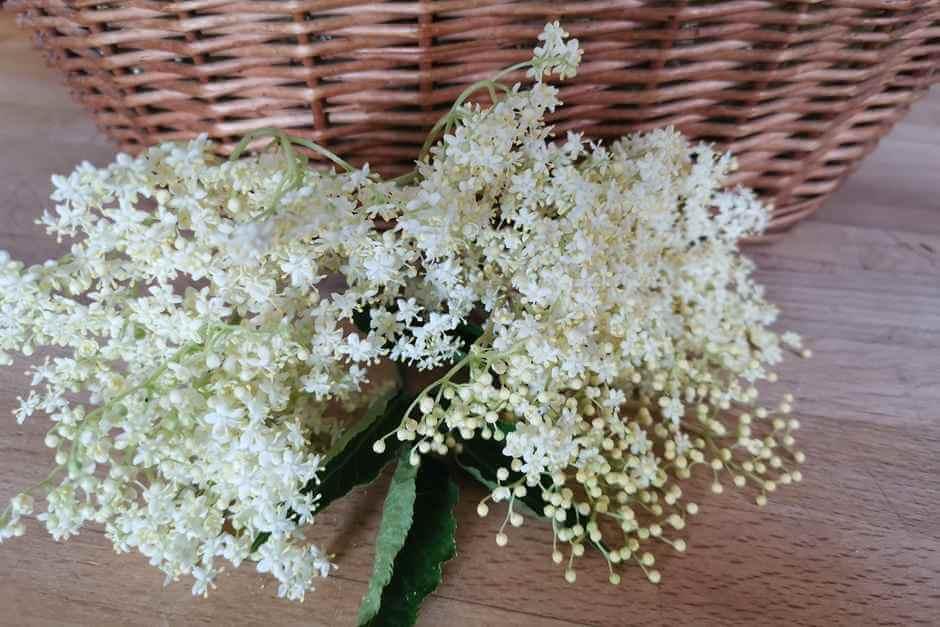 Holunder Blüten sammeln für Holunderblüten Rezepte