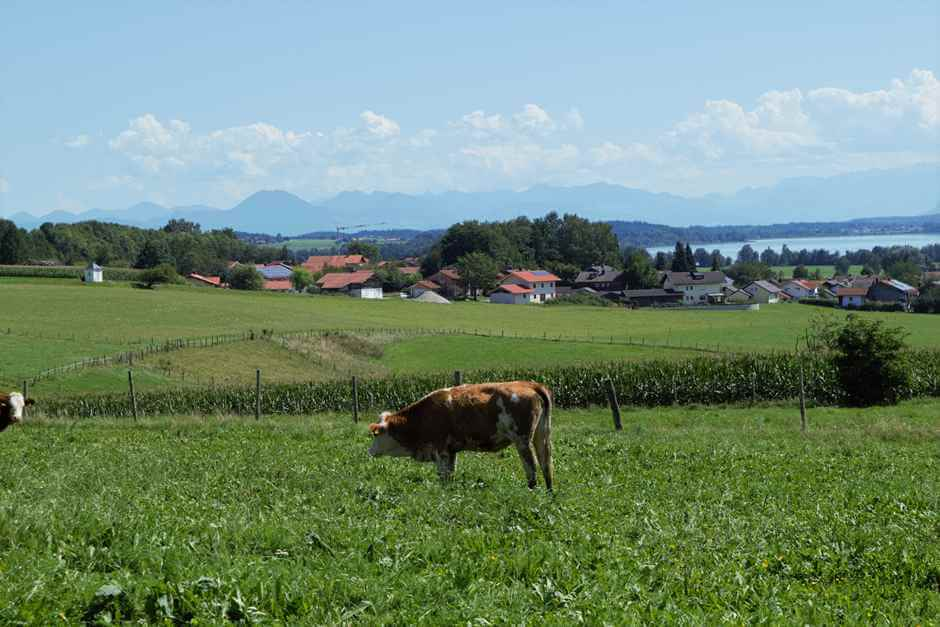 Cattle graze above the Waginger See
